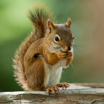 Secret Squirrel logo